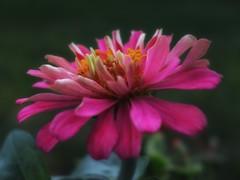 To Ponder You (Robert Cowlishaw (Mertonian)) Tags: backyardphotolab bypl beauty beautiful wonder awe ineffable upclose kneeling macro red pink canonpowershotg1xmarkiii markiii g1x powershot canon robertcowlishaw mertonian toponderyou