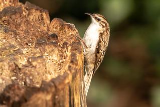 Treecreeper on a stump