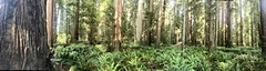 Stout Grove Panorama (daveynin) Tags: panorama coastredwood redwood rainforest ferns fern