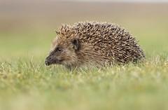 Hedgehog (bilska.anna) Tags: