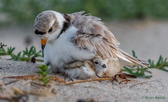 Piping Plover (bbatley) Tags: piping plover bird wildlife