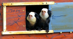 Ouistitis de Geoffroy (Raymonde Contensous) Tags: ouistitisdegeoffroy primates singesparczoologiquedeparis zoodevincennes animaux nature