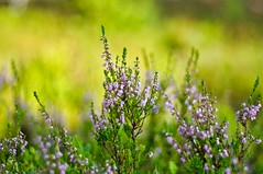 Calluna vulgaris (Stefano Rugolo) Tags: stefanorugolo pentax k5 pentaxk5 smcpentaxm100mmf28 ricohimaging callunavulgaris blooming underwood bokeh light summer depthoffield vintagelens manualfocuslens manualfocus manual woodland nature hälsingland sweden sverige dof