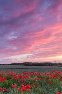 Poppy Field Sunset