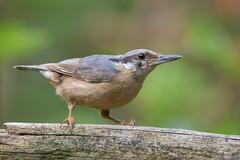 Sittelle torchepot (Sitta europaea) [uncropped] (fra298) Tags: sittaeuropaea oiseau bird animal wildlife viesauvage nature faunecharente canoneos7dmkii tamronsp150600mmf563divcusd