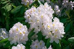 Rise and Shine (Adam Curran) Tags: standrews new brunswick nbphoto nikkor nikond3300 nikon flower kingsbraegardens outdoor outdoors plant