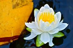 "Canoeing Surprise - Macro Monday - ""Transportation"" (not beck) Tags: macromonday macro monday transportation paddle canoe lake water lily pad flower nature oar"