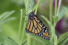 Butterfly 2018-49 (michaelramsdell1967) Tags: butterfly butterflies nature monarch monarchs macro animals animal green insect insects beauty beautiful pretty lovely bokeh vivid vibrant upclose closeup orange black delicate fragile bugs bug detail garden wings zen