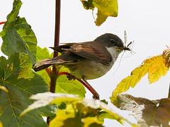 whitethroat Sylvia communis (rachelhynes) Tags: whitethroat warbler bird nature wildlife wicklow ireland