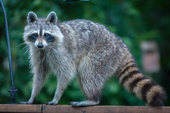 bandido del norte (jimmy_racoon) Tags: 70200 f4l is canon 5d mk2 bandit nature racoon 70200f4lis canon5dmk2
