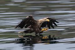 White Tailed Eagle Mull 26-06-2018-9996 (seandarcy2) Tags: eagles bif seaeagle raptors birds prey coastal hunting handheld wildlife