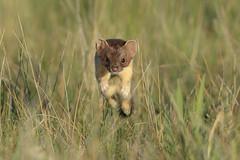 Pop Goes the Weasel (Amy Hudechek Photography) Tags: weasel jump play fly through air eye contact summer wildlife colorado nature amyhudechek nikond500 nikon600mmf4 june arapaho national refuge nwr shorttailed