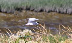 Forster's Tern (Scott Severn) Tags: don edwards wildlife refuge forsters tern