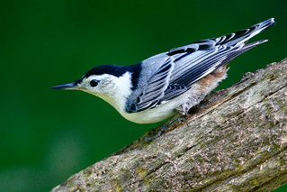White-breasted-Nuthatch-33w