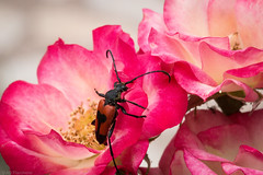Bug on a rose (Anthony P.26) Tags: bandirma category places travel turkey beetle insect gardenbugs rose flower flora garden plant flowers bokeh macro closeup closefocus narrowdepthoffield depthoffield sigma105mmmacro canon70d canon outdoor macrodreams