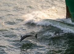 Dolphin Fun (181pics) Tags: wave nautical maritime seacreatures goldenhour ocean water sealife wildlife sonyalpha sony sonya7rii bow ship porpoise dolphin