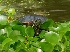 Turtle-Hello (ntnlsk) Tags: tortuga turtle pond mexicocity chapultepec green reptil coth