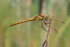 Sympetrum - 35mm Macro (Visual Stripes) Tags: dragonfly odonata sympetrum 35mm mzuiko olympus macro olympusepm1 microfourthirds mft m43 bokeh nature handheld