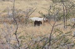 DSC_2513 (Andrew Nakamura) Tags: etosha namibia etoshanationalpark projectdragonfly earthexpeditions mammal bigcat felid leopard africanleopard animal wildlife
