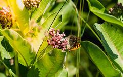 Upside down (Bela Bodo) Tags: flickr butterfly spring sunshine meadow glare leaves cozy