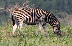Equus quagga burchelii (Burchell's Zebra) (Arthur Chapman) Tags: equuus quagga burchellii equusquagga equusquaggaburchellii equusburchelii plainszebra burchellszebra mlilwanewildlifesanctuary mlilwane swaziland taxonomy:kingdom=animalia taxonomy:phylum=chordata taxonomy:class=mammalia taxonomy:order=perissodactyla taxonomy:family=equidae taxonomy:genus=equus taxonomy:binomial=equusquagga taxonomy:trinomial=equusquaggaburchellii taxonomy:common=burchellszebra taxonomy:common=plainszebra geocode:accuracy=100meters geocode:method=gps geo:country=swaziland geo:region=africa