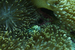 Porcelain Anemone Crab (dilshanabdulla) Tags: crab anemone brown spot macro maldives sealifedc2000 underwater uwphotography