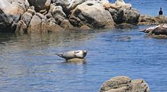 Monterey - Fisherman's wharf (SyndromeDeStendhal) Tags: usa unitedstatesofamerica étatsunis amérique californie california bigsur seal sealion seals sealions westcoast
