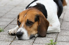 Lucky (LuckyMeyer) Tags: dog beagle haustier jagdhund black brown white