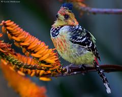 Crested Barbet (leendert3) Tags: leonmolenaar southafrica krugernationalpark wildlife nature birds crestedbarbet ngc npc coth5 naturethroughthelens