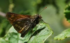 Large Skipper -Ochlodes sylvanus - Near Wool Dorset (3) (ailognom2005) Tags: largeskipper ochlodessylvanus nearwooldorset dorsetwildlife insects dorset butterflies butterfliesmothsandcaterpillars uk britishwildlife britishinsects