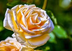 Rose (rustyruth1959) Tags: macro closeup nature rosegarden sunshine ourdoor peach peachrose rosebush plant petals bloom rose garden brobury broburyhouse broburyhouseandgardens herefordshire england uk tamron16300mm nikond5600 nikon