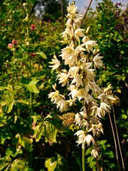 Yucca in bloom (Keith Coldron) Tags: yucca plant flowerspike white