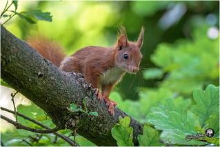 Au jardin (écureuil roux)