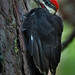 Young Piliated Woodpecker (insightimage) Tags: pileatedwoodpecker nature wildlife wisconsin nikon