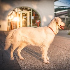 A lot of people don't know this, but Golden Retrievers can be sundials sometimes too 💕🐾💕 (Alex Beattie) Tags: althea golden dog california westlake artisanbrandingcom