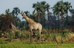 South African giraffe or Cape giraffe (Giraffa camelopardalis giraffa)__ (Susan Roehl) Tags: botswana2013 moremigamereserve botswana southernafrica southafricangiraffe giraffacamelopardalisgiraffa 201631000 listedasvulnerable reintroducedinsomeplaces savannahs woodlands herbivore animal mammal tallestonland eatleaves flowers bulbs shoots acacia trees sueroehl photographictours naturalhabitatadventures pentaxk3 sigma150500mmlens handheld cropped grass giraffe tree landscape coth5 ngc npc