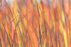 Colorful Grass (mclcbooks) Tags: grass grasses okavangodelta botswana africa safari