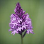 Orchidaceae thumbnail