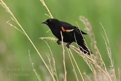 Red-winged Blackbird - Agelaius phoeniceus (jessica.rohrbacher) Tags: blackbird redwinged agelaius phoeniceus icteridae bird avian male spring calgary alberta canada