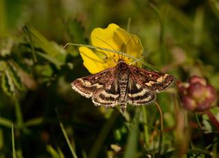 Pyrausta Purpularis - Day flying moth