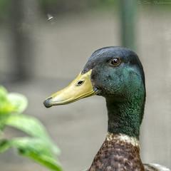 Chuffin' Quack !! (Tony Baldwinson) Tags: duck mallard birds quack uk fairburnings rspb nikond500 nikonafs80400
