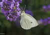 Butterfly and lavender (Stei&Helvi) Tags: macro insect animal wildlife sony alpha nature flower flora floral bee butterfly garden lavender cigala summer