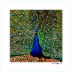 Pfau _ Peacock (Badenfocus_1.000.000+ views_Thanks) Tags: badenfocus hannover zoo zoohannover pfau peacock fujifilmx20 vogel bird