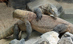 Komodo dragon Paira Daiza JN6A1558 (j.a.kok) Tags: dragon komododragon varaan komodovaraan asia azia reptiel reptile pairidaiza