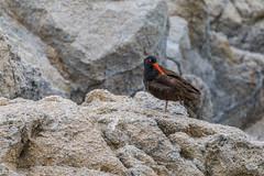 Black Oystercatcher (Allan Hack) Tags: blackoystercatcher animals montereyca wildlife loverspoint pacificgrove california unitedstates us