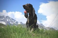Nasco au Pans des Modzons (bulbocode909) Tags: valais suisse ovronnaz pansdesmodzons chiens montagnes nature nuages printemps neige bleu vert herbes
