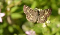 Xenophanus tryxus (Cramer, 1780)  Hesperiidae (robertoguerra10) Tags: hesperiidae borboleta butterfly xenophanus tryxus