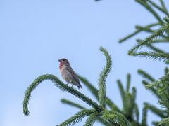 P6300028 (turbok) Tags: karmingimpelcarpodacuserythrinus tiere vögel wildtiere c kurt krimberger