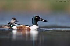 Northern Shoveler (Gregory Lis) Tags: northernshoveler spatulaclypeata britishcolumbia gorylis gregorylis nikond810 nikon duck anasclypeata