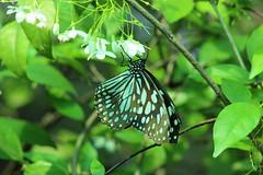 Bangkok Butterfly Garden and Insectarium - Bangkok, Thailand 2018 (Dis da fi we) Tags: bangkok butterfly garden insectarium thailand